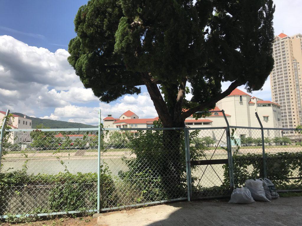 この大木は自然に生えた感じではない?