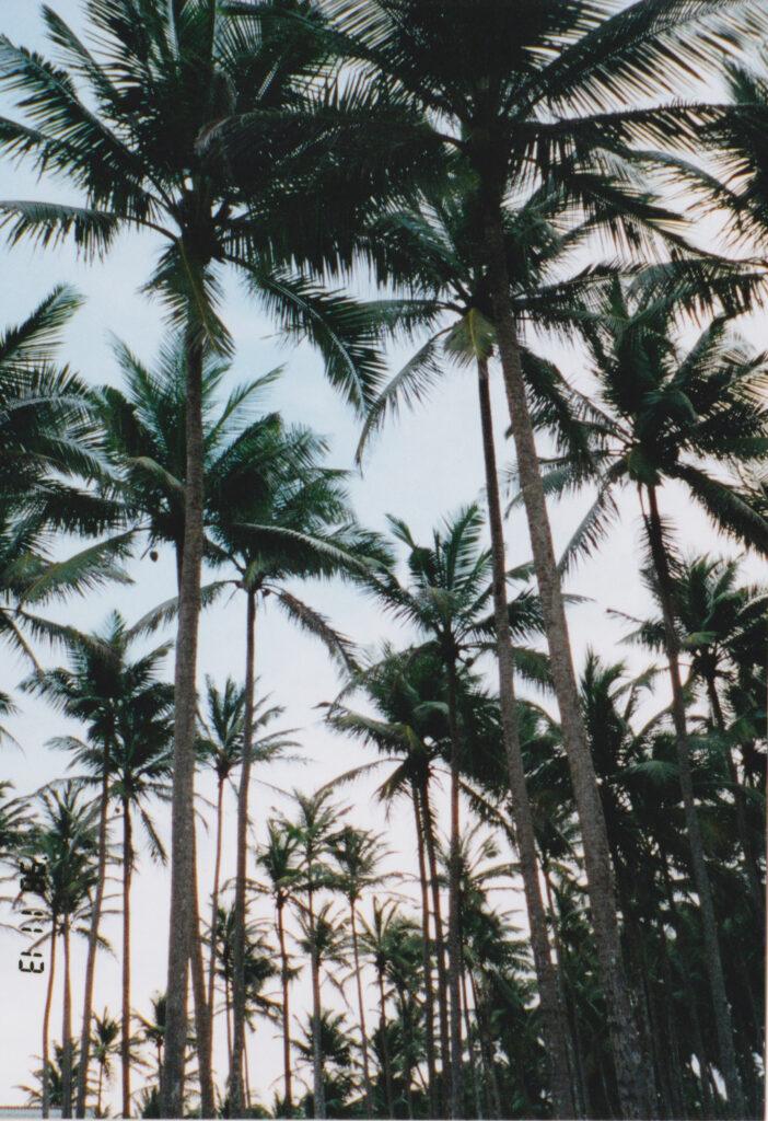 椰子の木綺麗